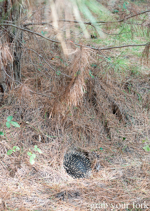 Hiding echidna