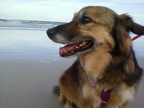 Maggie dog checking out the ocean