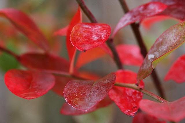 Autumn blueberry