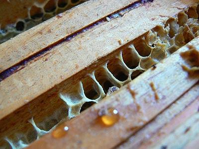 goutte de miel ....jpg