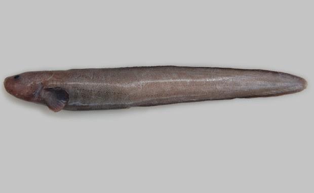 Espécie de peixe da família 'Zoarcidae' descoberta na Nova Zelândia (Foto: Divulgação/NIWA/University of Aberdeen)