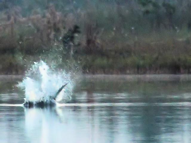 Osprey impact 20131020