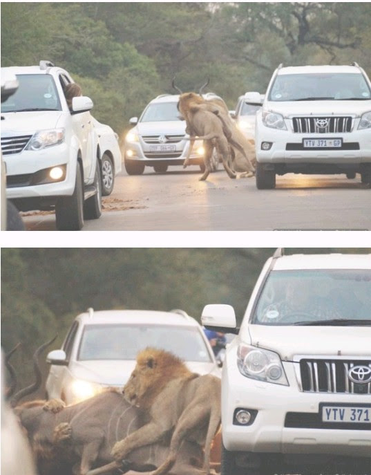 Lion Attacks & Kills An Antelope While Tourists Watch From Their Cars (photos) -