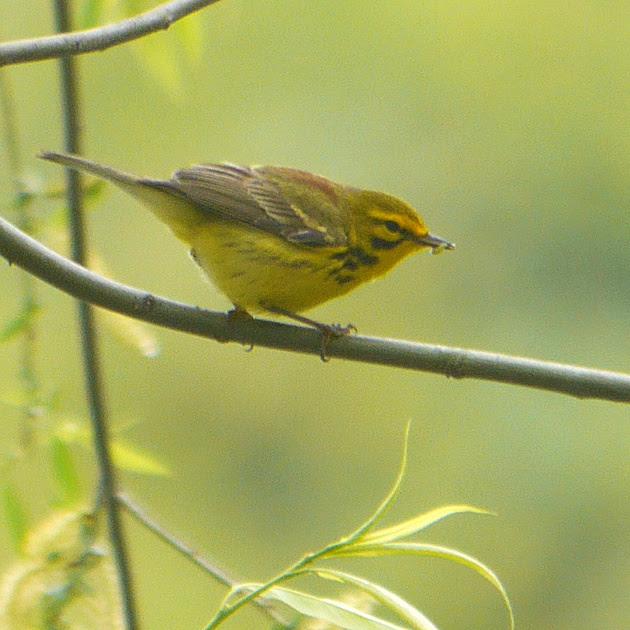 Ed Gaillard: birds &emdash; Prairie Warbler, Central Park