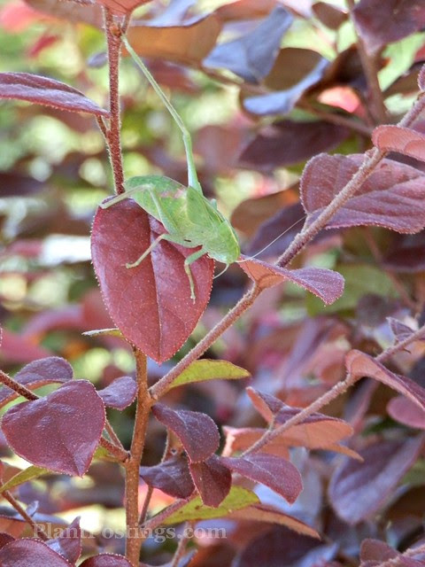 foliagekatydid