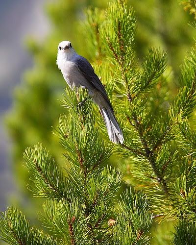 IMG_6980 Gray Jay, Grand Teton National Park