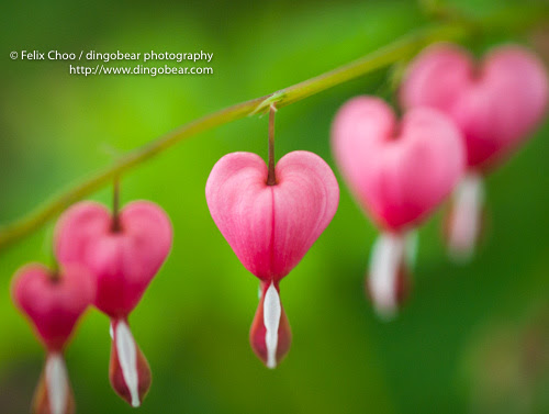 https://fineartamerica.com/featured/bleeding-hearts-felix-choo.html