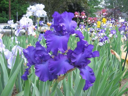 Presby Iris Garden