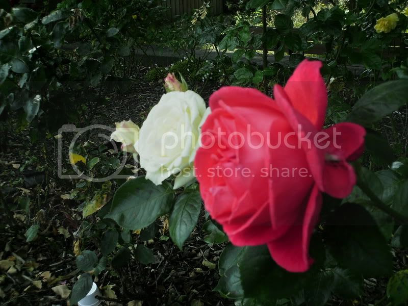 The Peace of the Roses