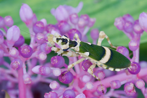 Theopropus elegans Asian Flower Mantis....IMG_4631 copy