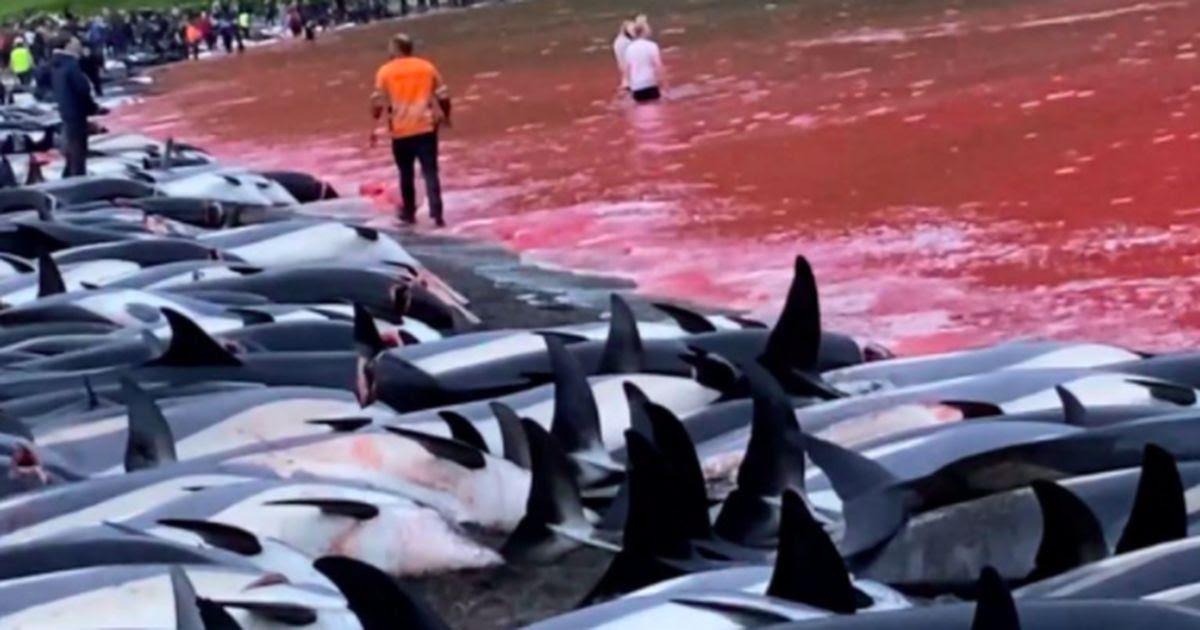 Schokkende beelden: meer dan 1400 dolfijnen afgeslacht op Faeröereilanden