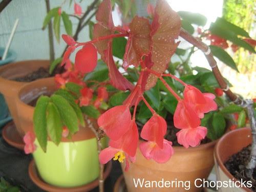 Begonias 3