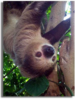 Southeastern Outdoors Two toed Sloth