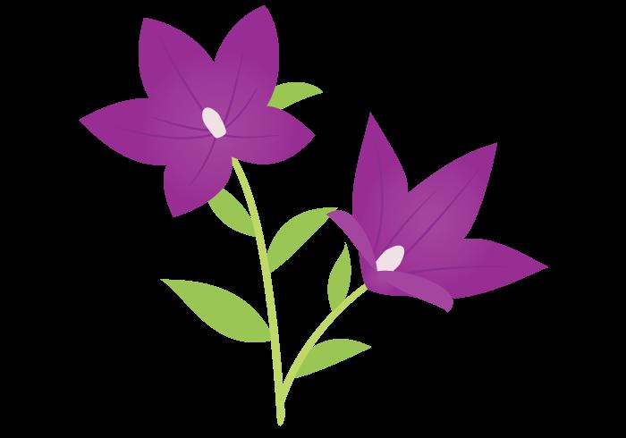 桔梗キキョウ Bellflower