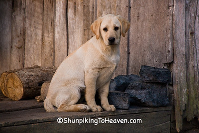 Yellow Lab Puppy at Penn's Store, Casey County, Kentucky (at the Boyle County Line)