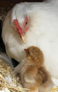 Where a baby chick belongs.With her mother. Please don't pay the egg and chicken industry to abuse these intelligent birds.