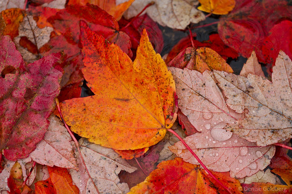 fallen leaves, brilliant colors