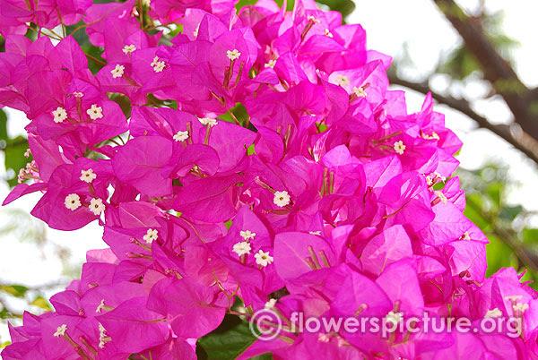 Bougainvillea Varieties