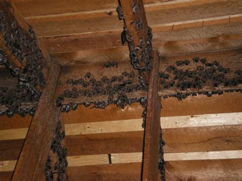 Removing Bats From the Attic   Alphaanimalcontrol.ca