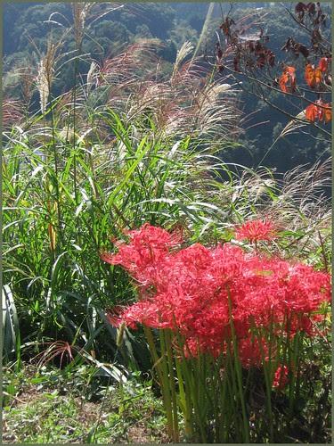 12 higanbana and susuki grass