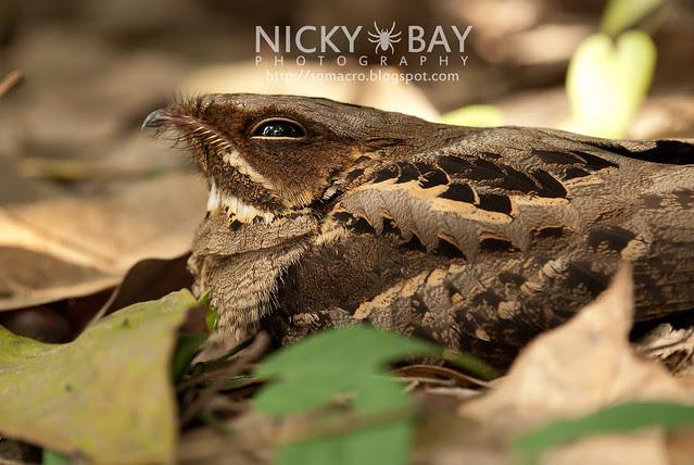Nightjar (Caprimulgidae) - DSC_7656