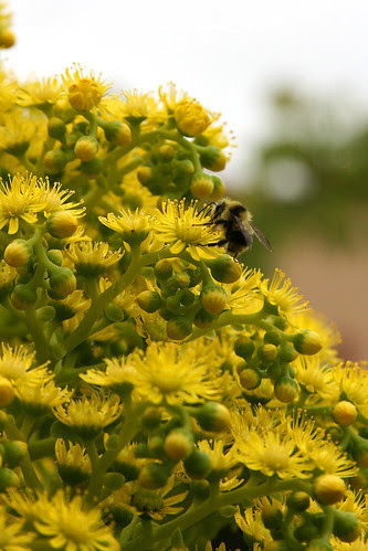 bees love aeonium undulatum