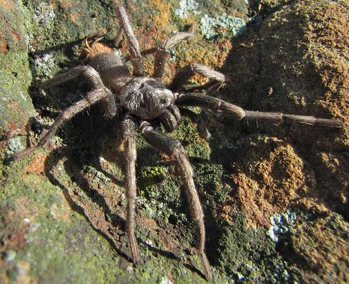 big silvery spider