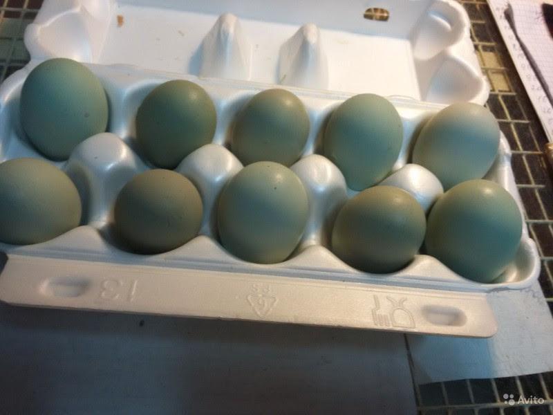 Куриные яйца синего цвета интересное, интересные факты, факты