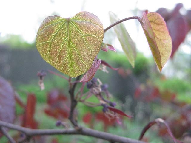 redbud leaves II