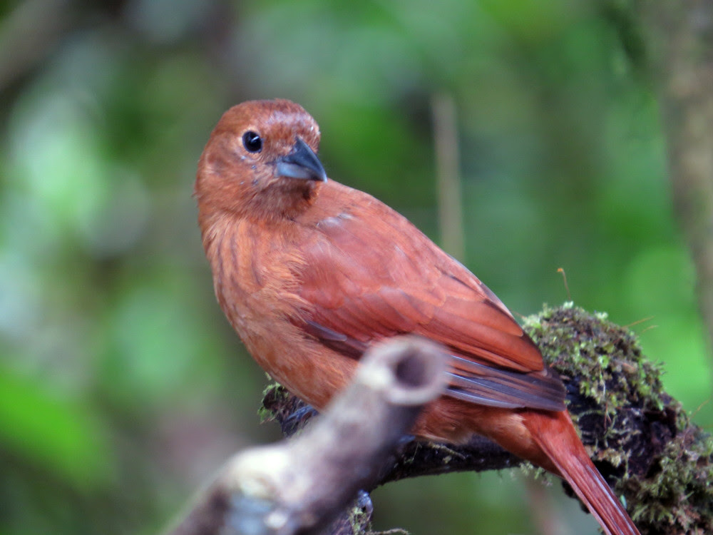 Female whitelined Tanager