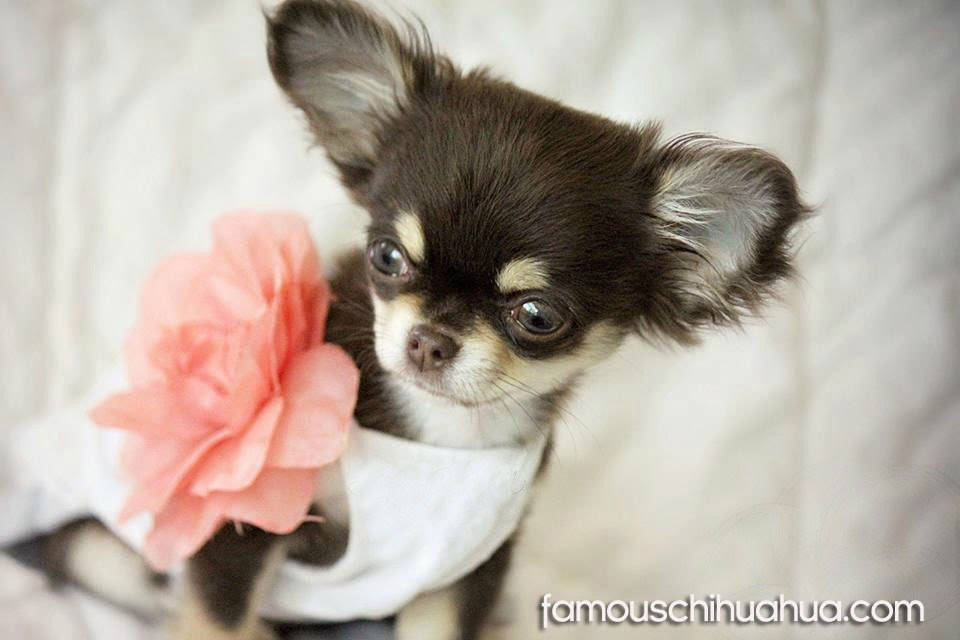Meet the World's Cutest Famous Chihuahua, Rufus!