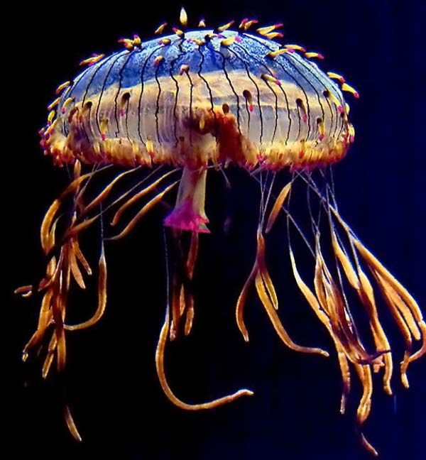 Jellyfish (15 pics)
