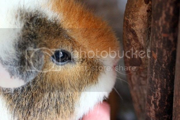 http://www.publicdomainpictures.net/view-image.php?image=83448&picture=cute-guinea-pig