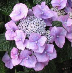 http://www.flowerpicturegallery.com/d/9913-4/Light+purple+hydrangea+flower+pictures.JPG