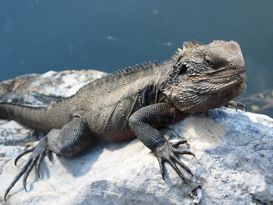 Eastern water dragon on rock