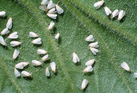 Whiteflies   pestcontrolsupplies.com