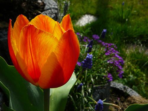 Tulpen 2008 (04)