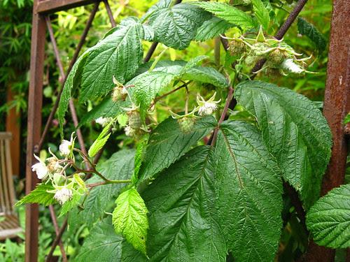 Rubus 'Caroline'