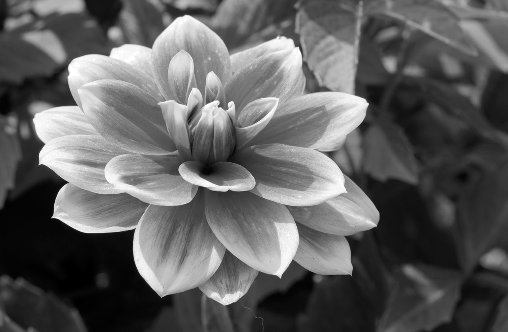 Free black and white pictures of flowers georges blog