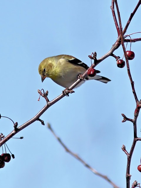 American Goldfinch 20130225