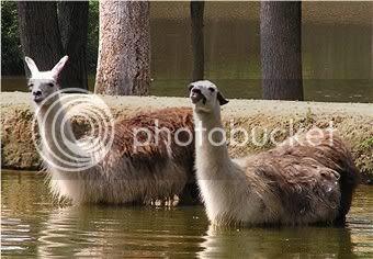 some llamas yesterday