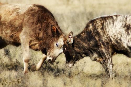 Pasture Fight