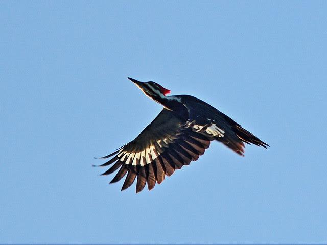 Pileated Woodpecker in flight 2-20131208