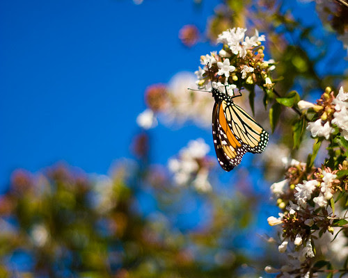 monarch_butterfly_s