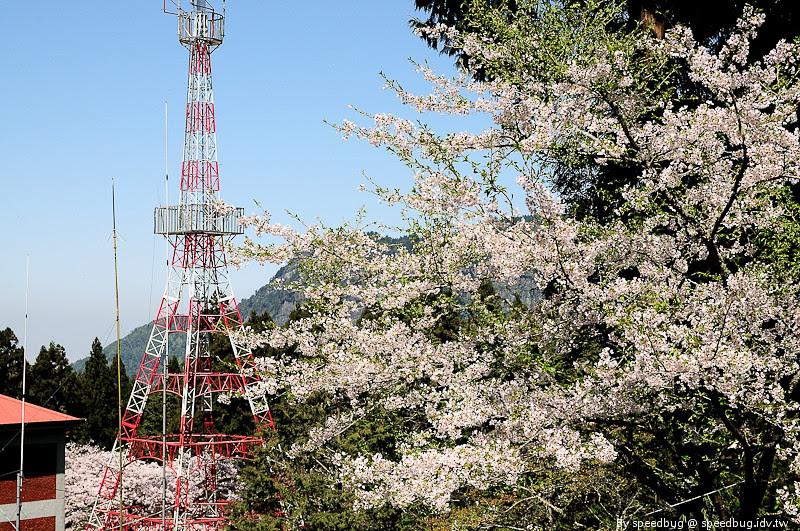 阿里山櫻花季44