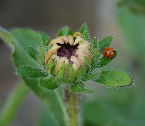 Lady bug on daisy