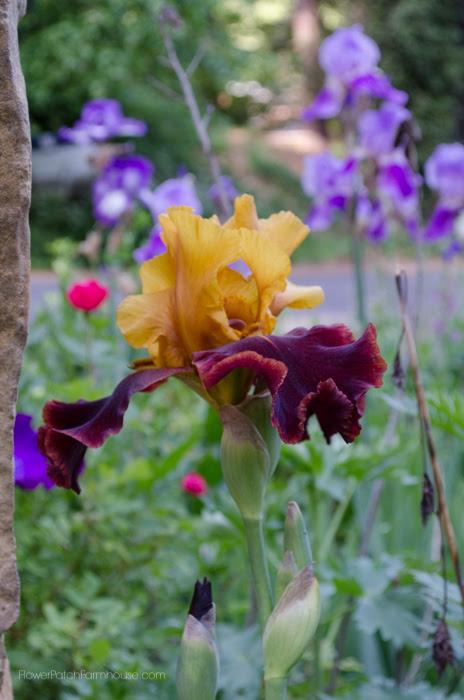 The Sultan Iris
