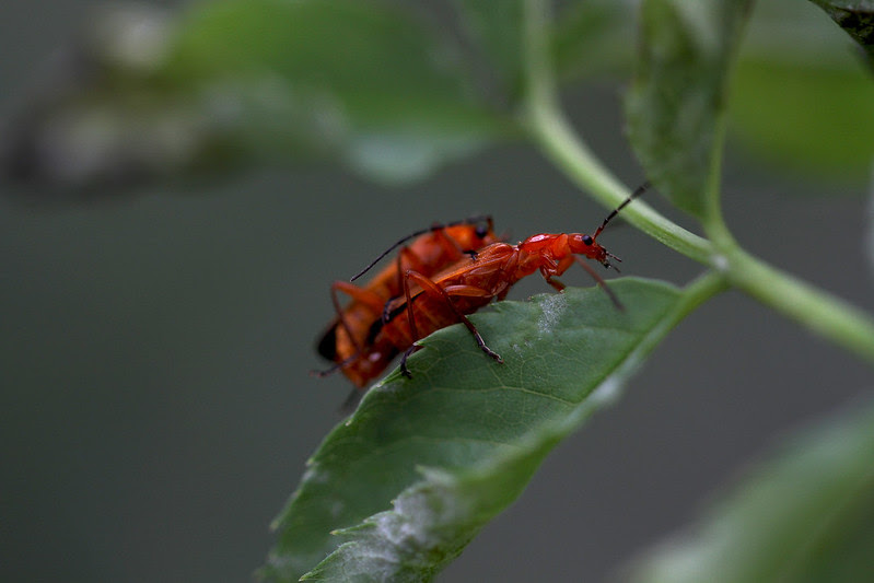 mating red bugs