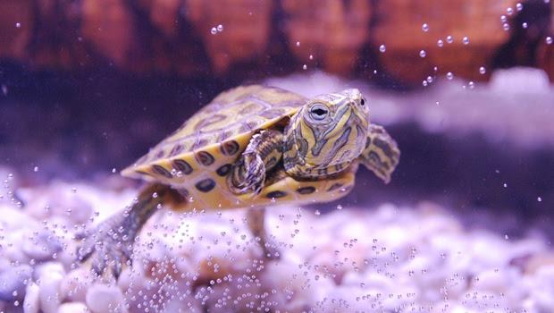 Aquatic Turtles How Best To Keep Them Petfleas Co Uk