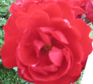 Rose Lilli Marleen